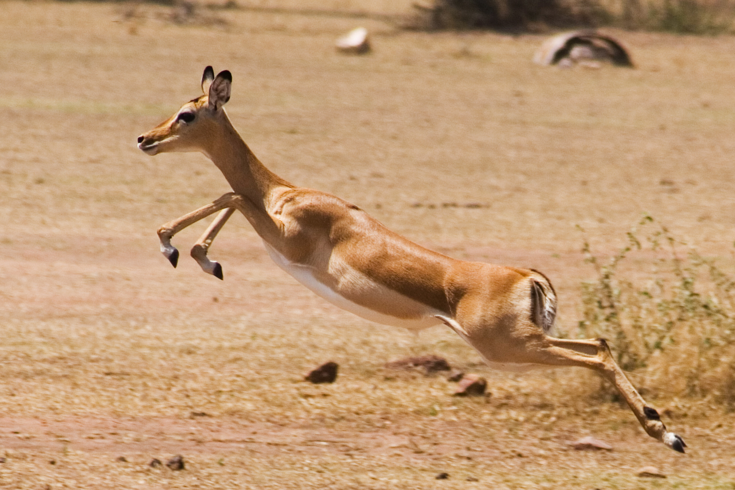 gazelle running from lion - photo #39